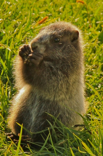 A young marmot out and about near Summerland